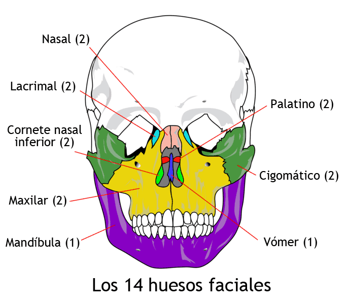 Huesos faciales (viscerocráneo)
