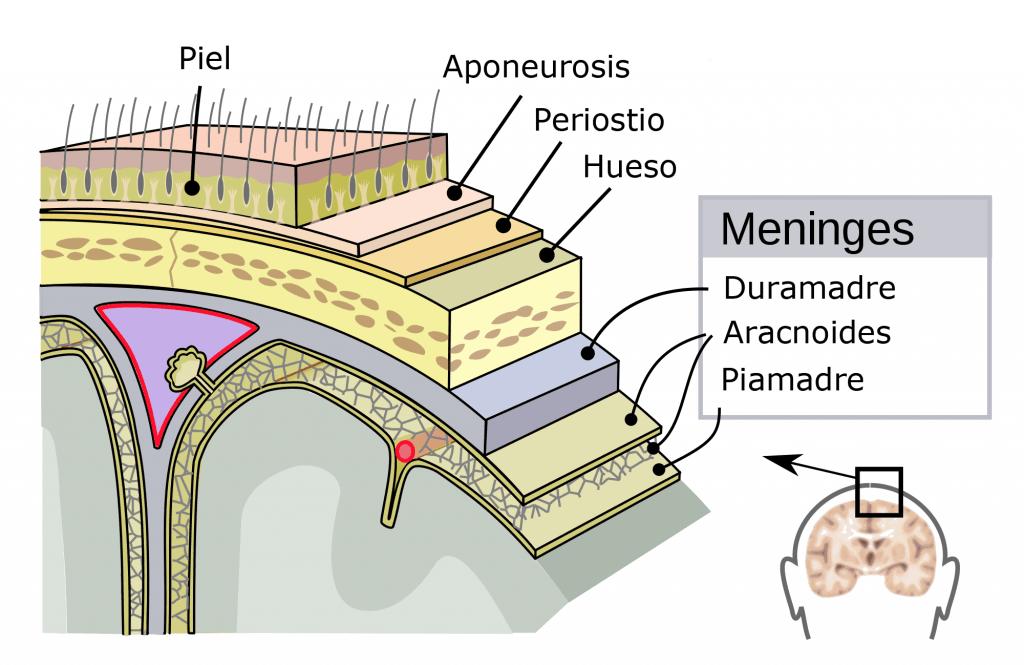 Las 3 meninges: duramadre, aracnoides y piamadre
