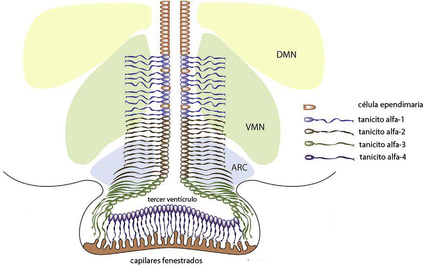 Tipos de tanicitos en el tercer ventrículo
