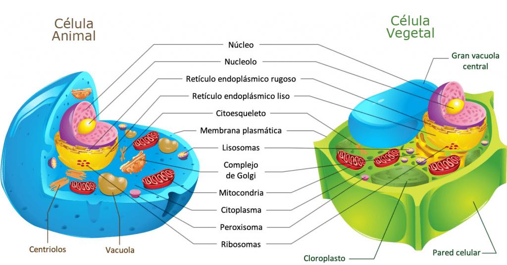 Esquema comparativo de una célula animal y una vegetal