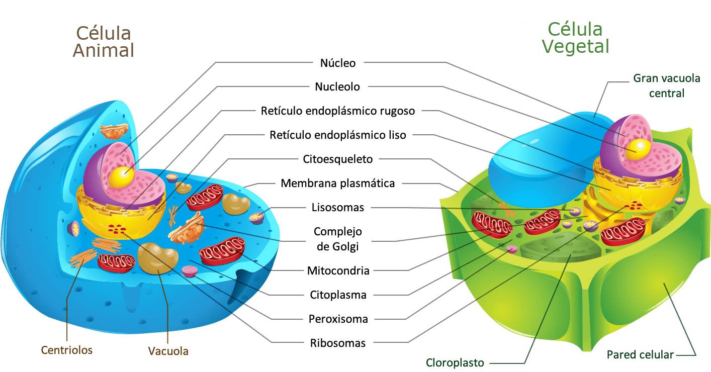 Que Diferencia Las Celulas Animales Y Vegetales Curiosoando