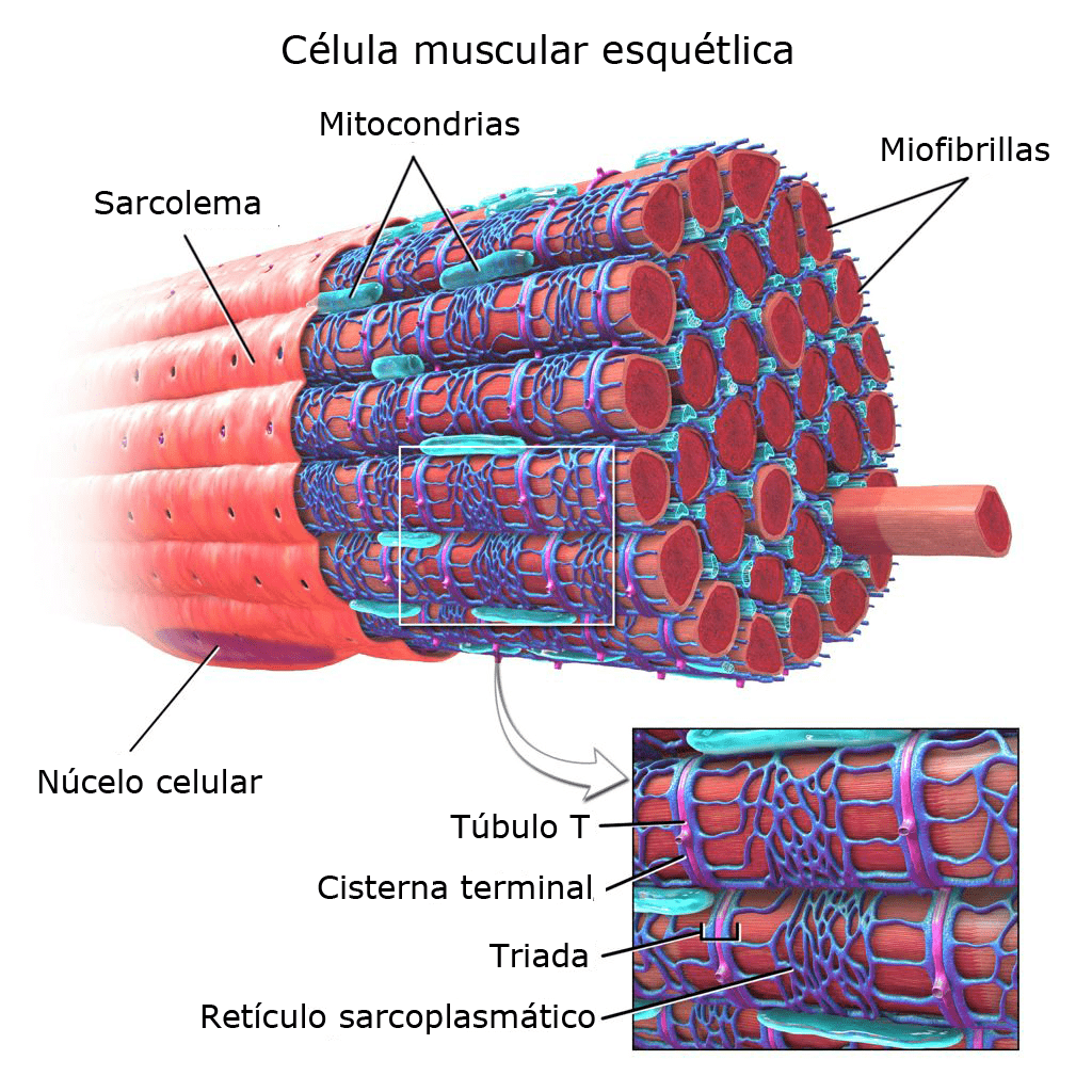 Estructura de la célula muscular estriada