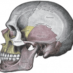 Huesos del cráneo (vista lateral)