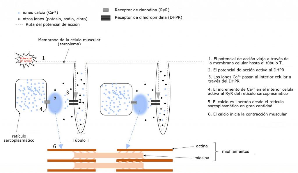 Liberación de calcio en el retículo sarcoplasmático