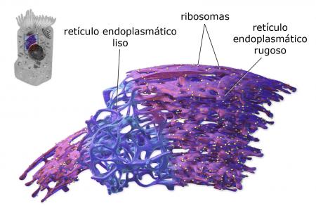 Retículo endoplasmático 3D