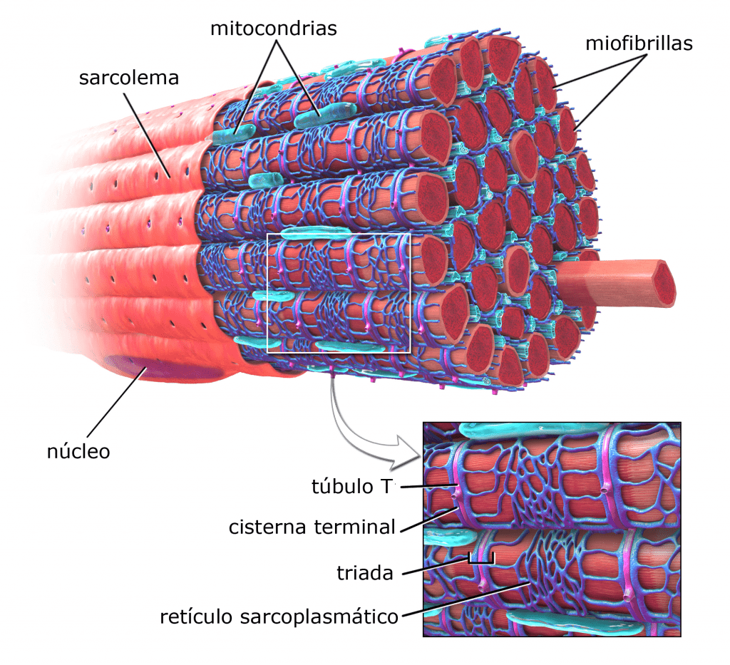 Retículo sarcoplasmático (esquema)