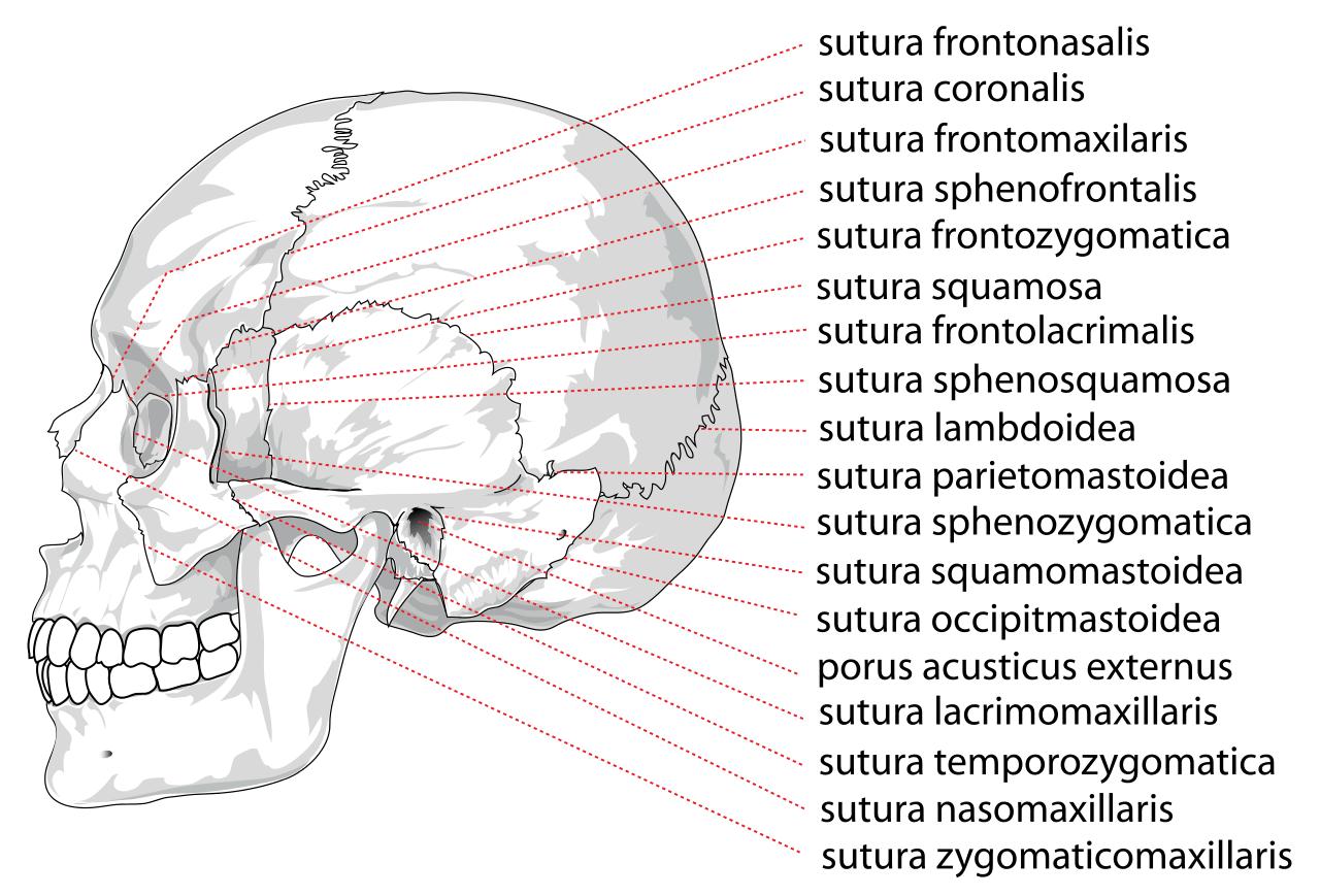 Cuáles son las articulaciones o suturas del cráneo? – Curiosoando