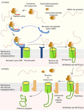 Translocacion de proteínas en el retículo endoplasmático rugoso