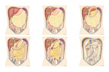 Cavidad peritoneal y órganos abdominales