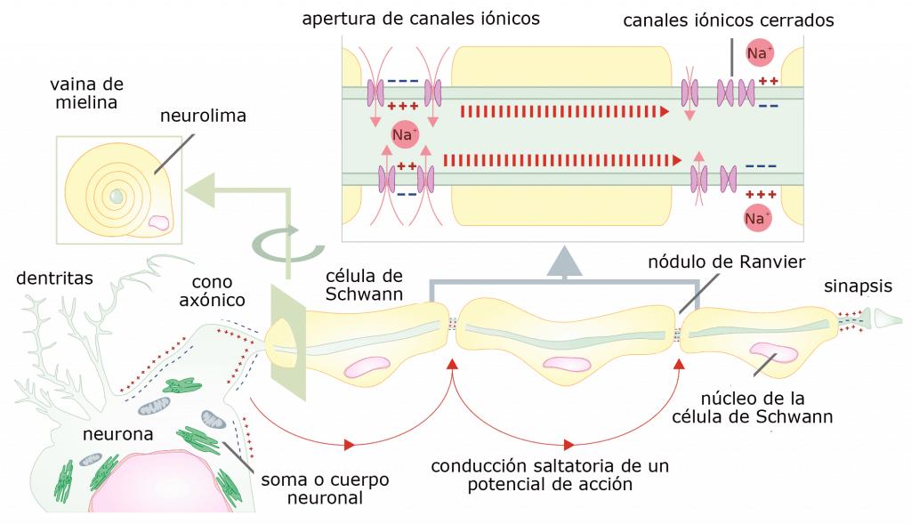 Propagación de un impulso en nervios mielinizados (conducción saltatoria)