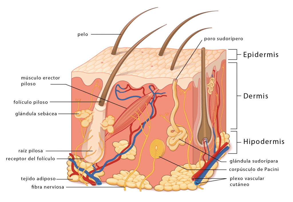 Capas y estructuras de la piel