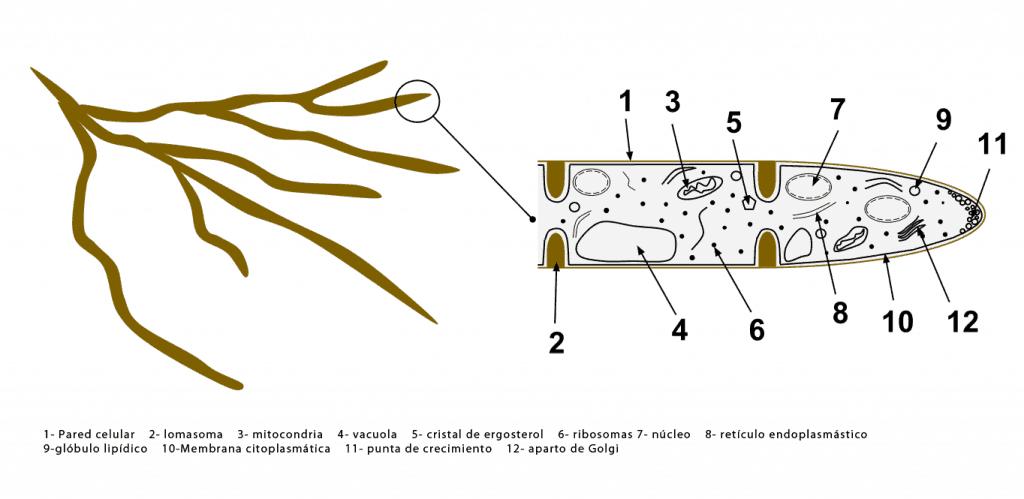 Esquema de una célula de una hifa