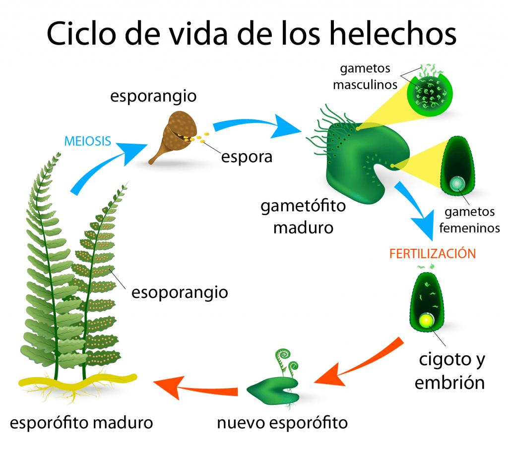 Esquema del ciclo de vida de los helechos