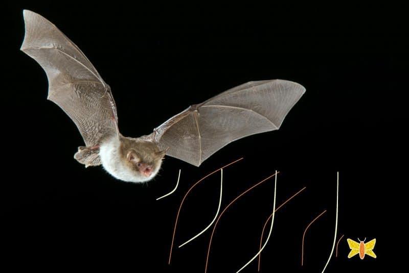 Ecolocación de los murciélagos