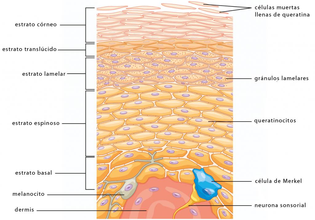Estructura de la epidermis