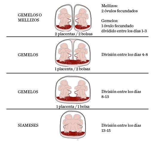 Diferencias de gestación en gemelos, mellizo y siameses