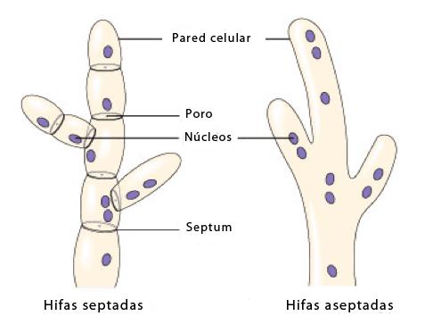 Hifas multinucleadas