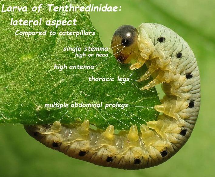 Larva de una mosca de la sierra