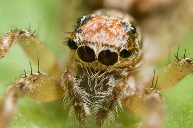 Ojos simples en la araña saltadora Clynotis severus