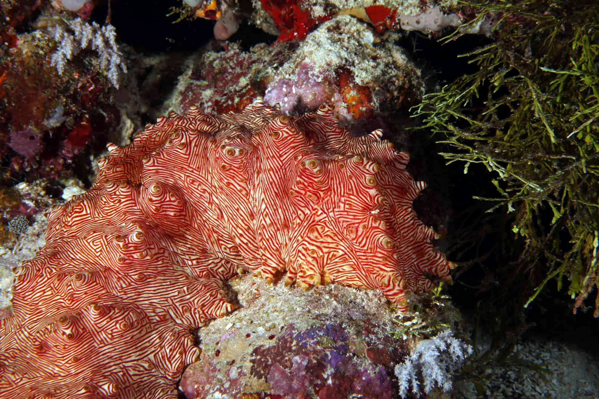 Qué son los pepinos de mar? – Curiosoando