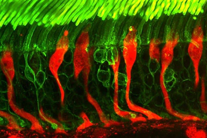 Conos y bastones de la retina