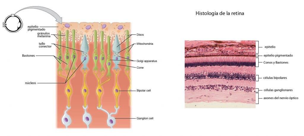 Estructura de la retina y las células fotorreceptoras