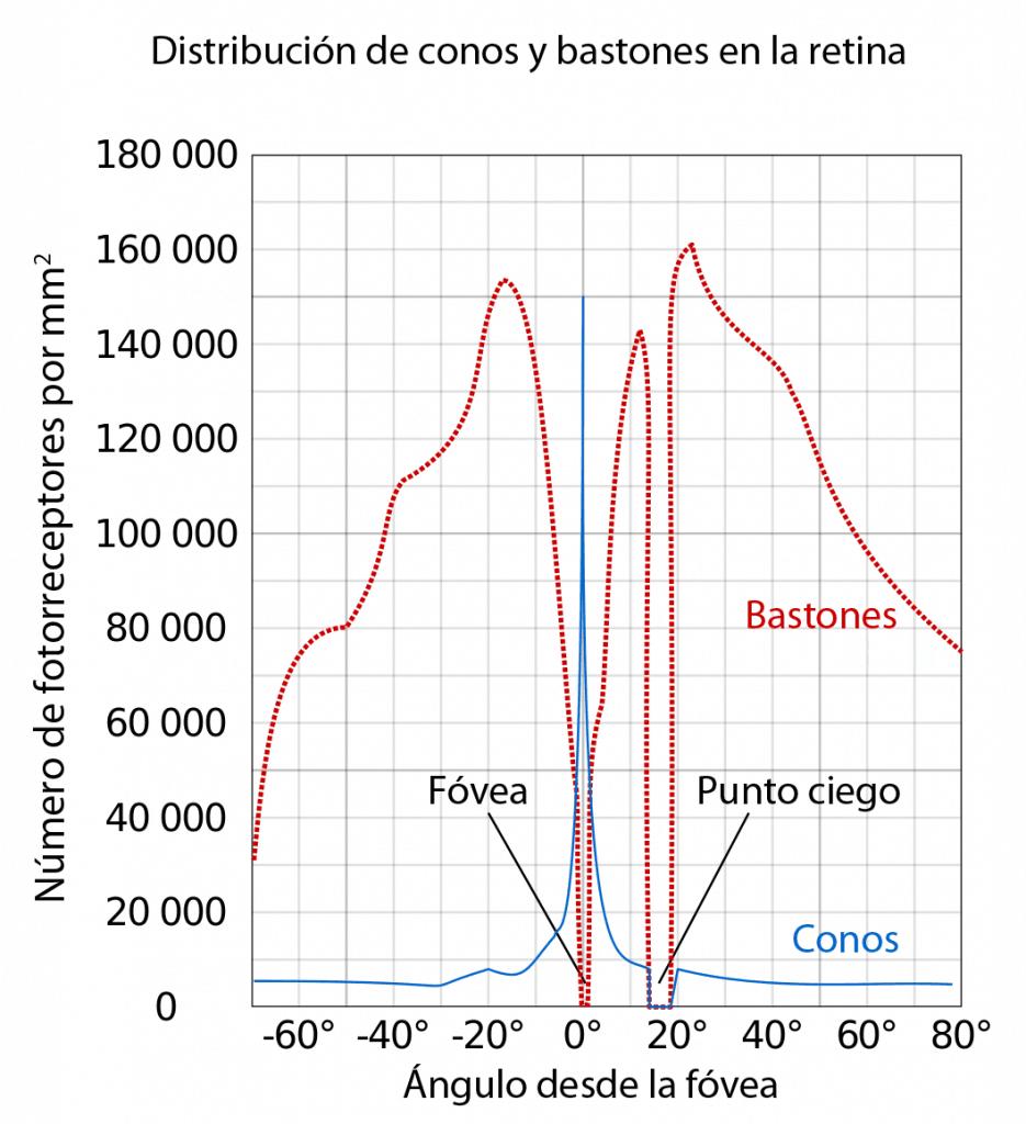 Distribución de conos y bastones en la retina