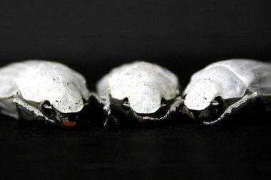 Escarabajos blancos (Cyphochilus)