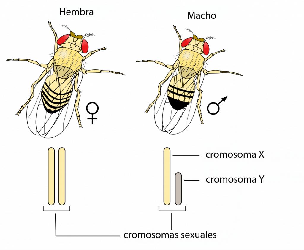 Sistema XY en Drosophila