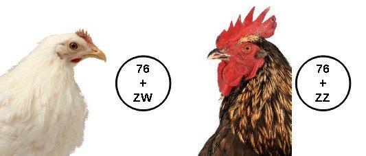 Sistema de cromosomas sexuales ZW/ZZ