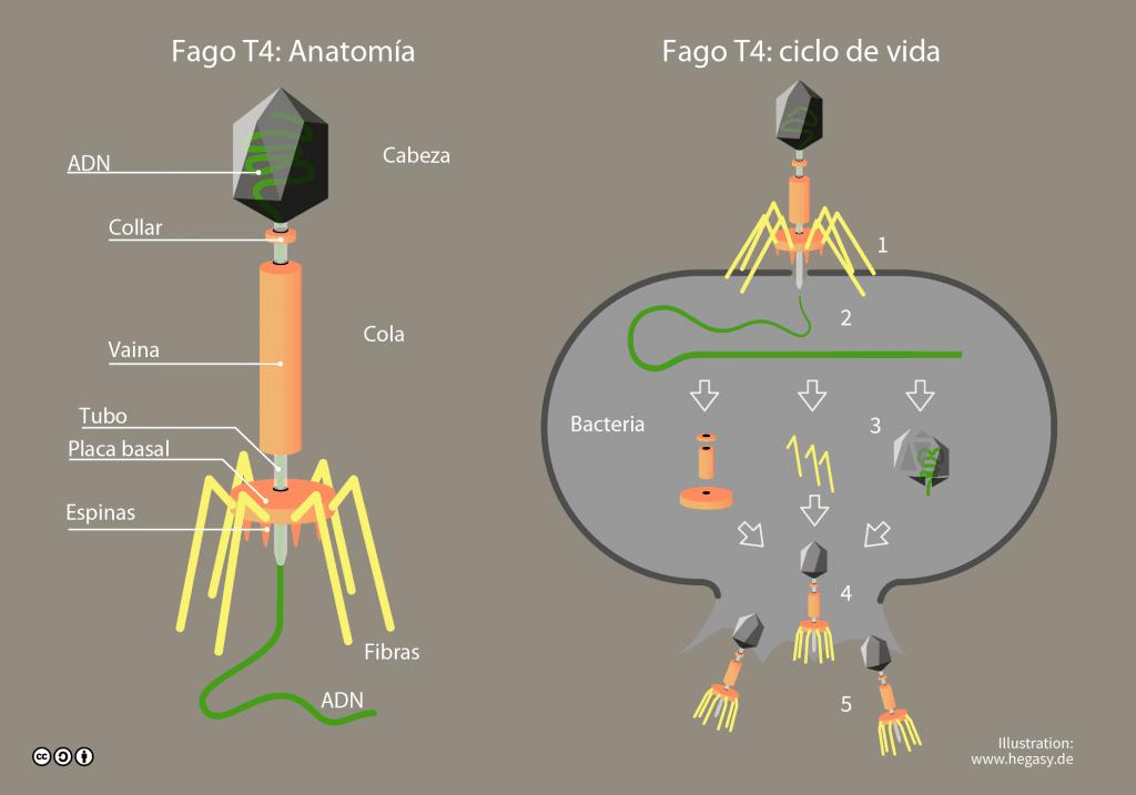 Anatomía y ciclo de vida del Fago T4