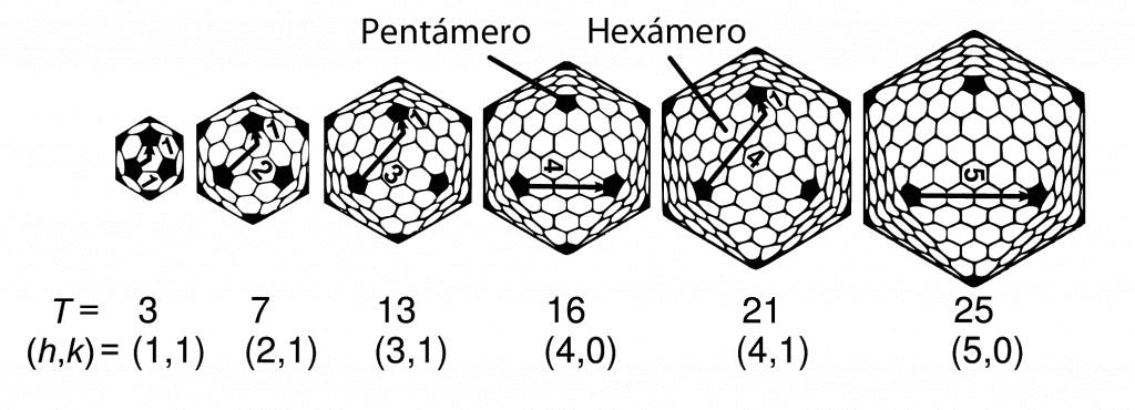 Número T de la cápside icosaédrica