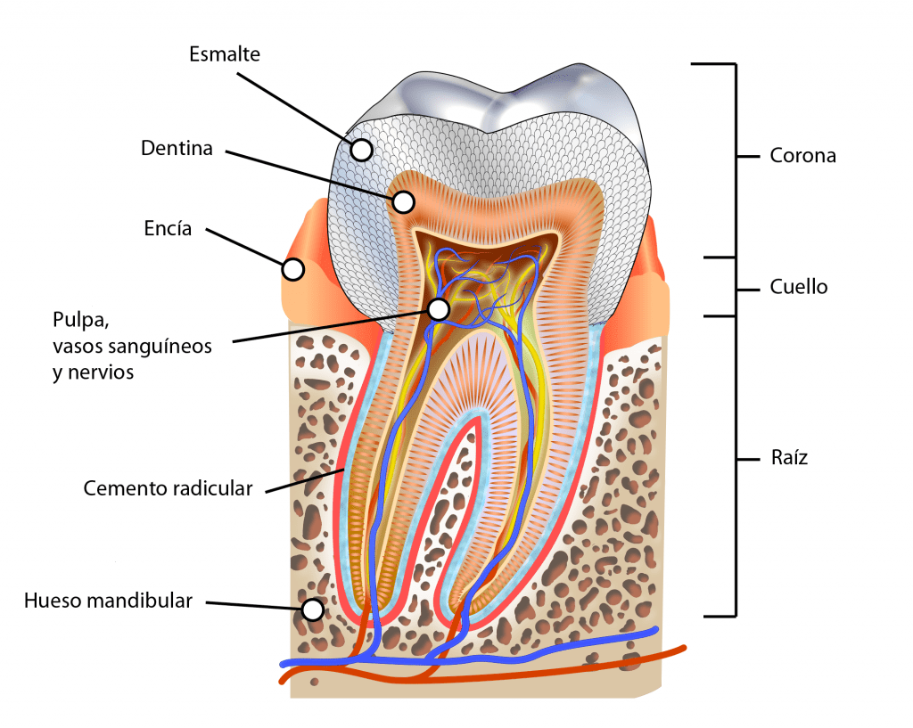 Tejidos y partes de un diente humano