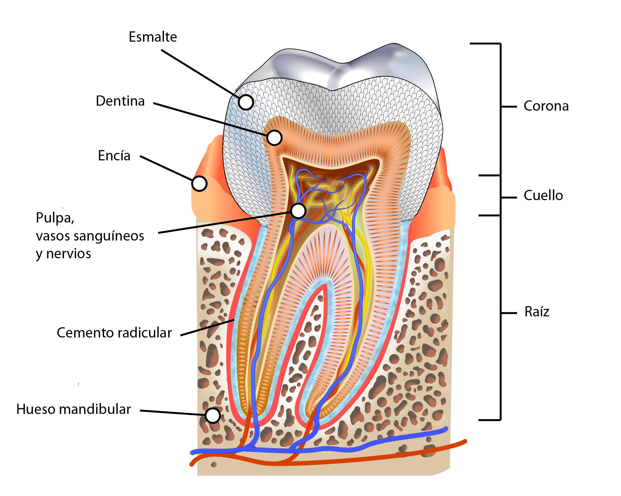 De qué están hechos los dientes? – Curiosoando