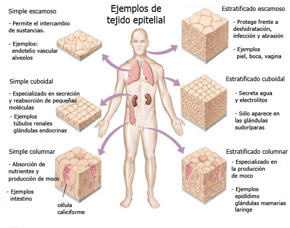 Ejemplos de tejido epitelial en el cuerpo humano