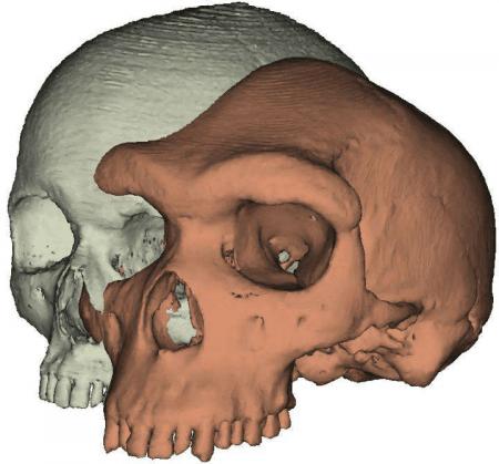 Modelo de cráneo Homo sapiens y Kabwe 1