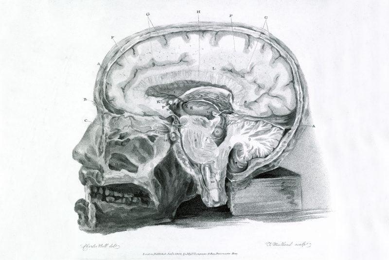 Sección cerebral, ilustración del siglo XIX