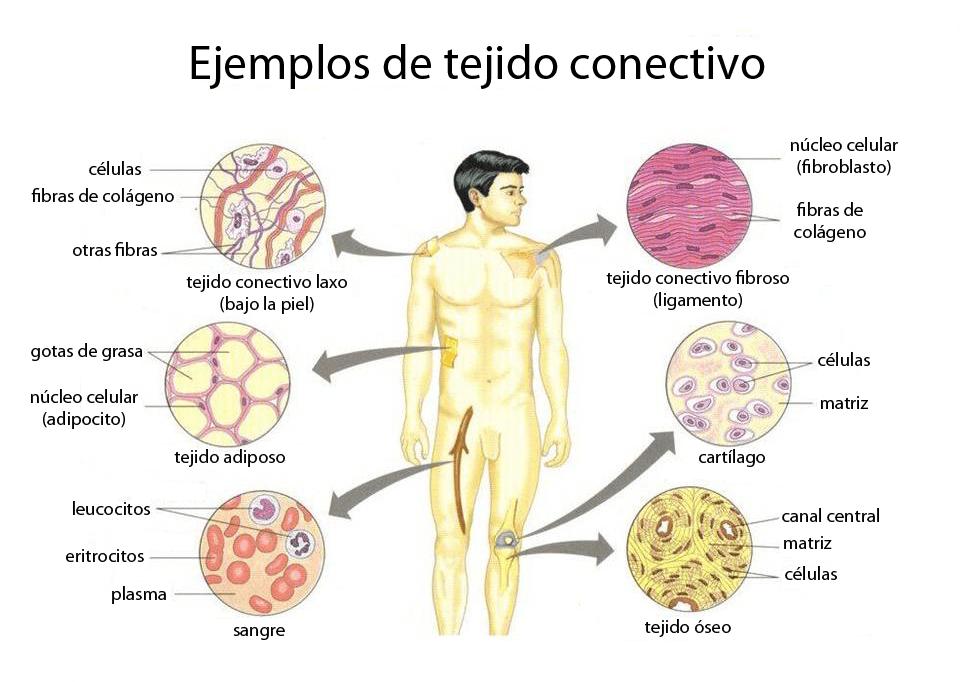 Ejemplos de diferentes tipos de tejido conectivo