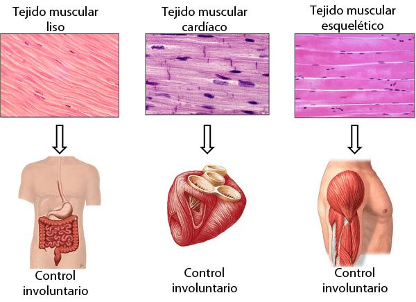 Tipos de tejido muscular
