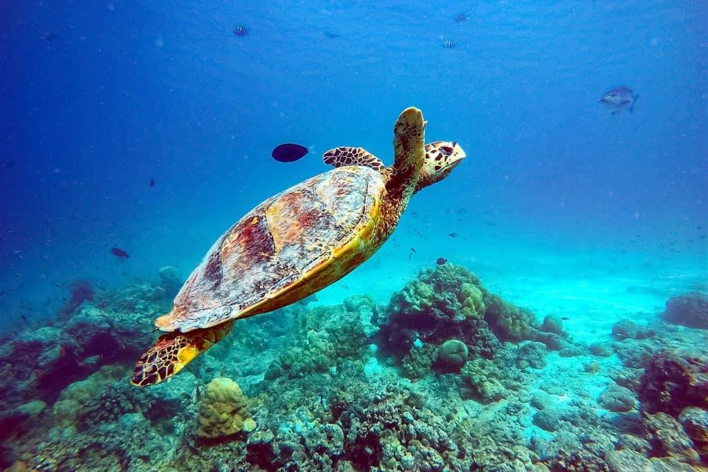 Tortuga marina en la Maldivas