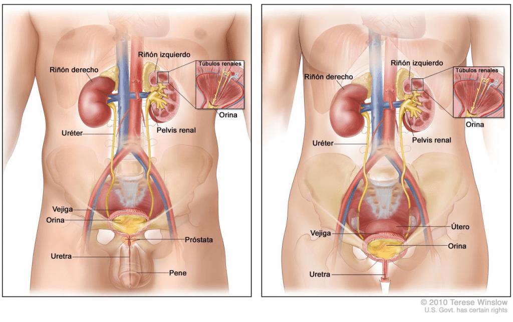 Anatomía del aparato urinario