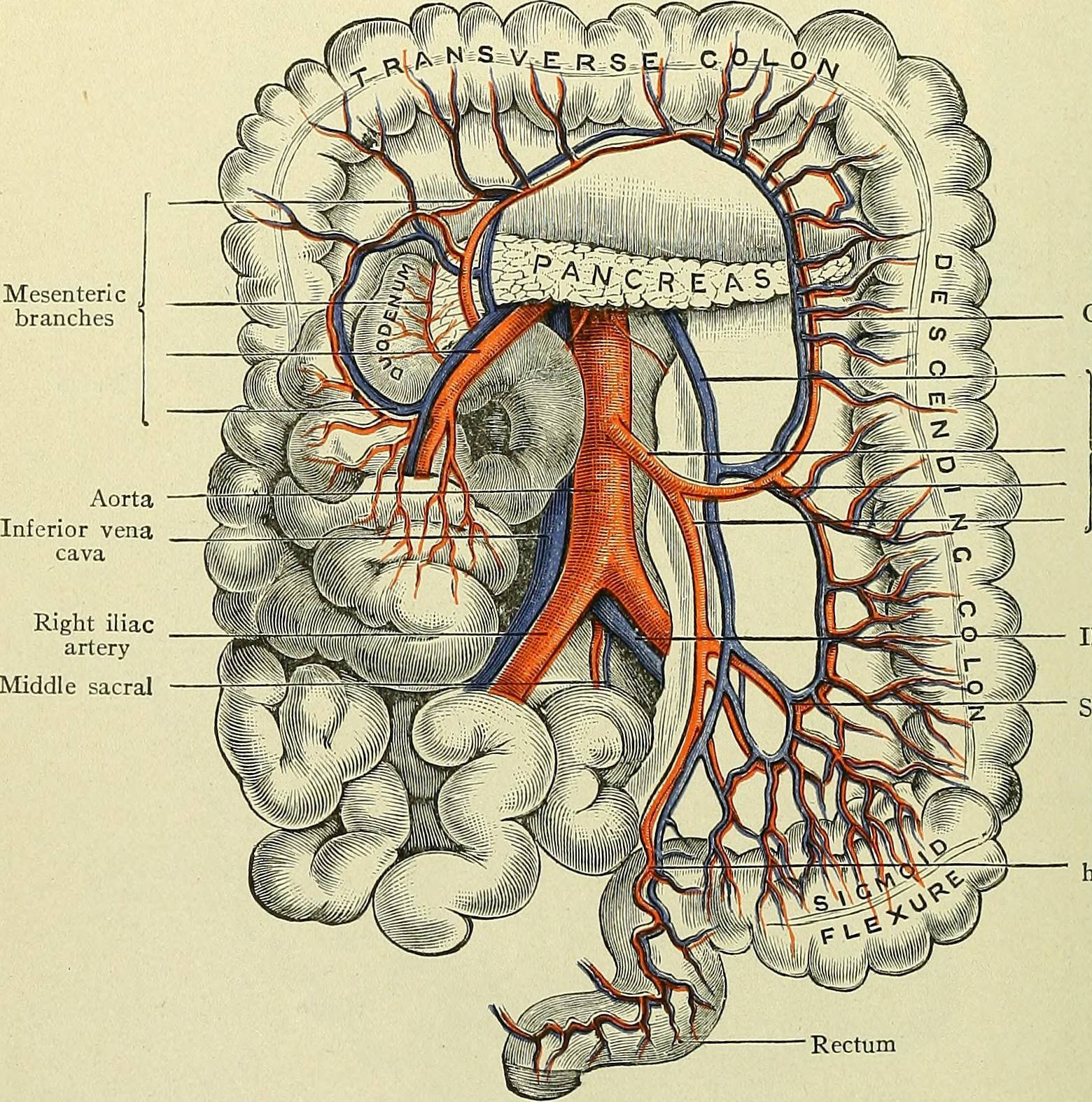 Cuál es la función del intestino grueso? – Curiosoando