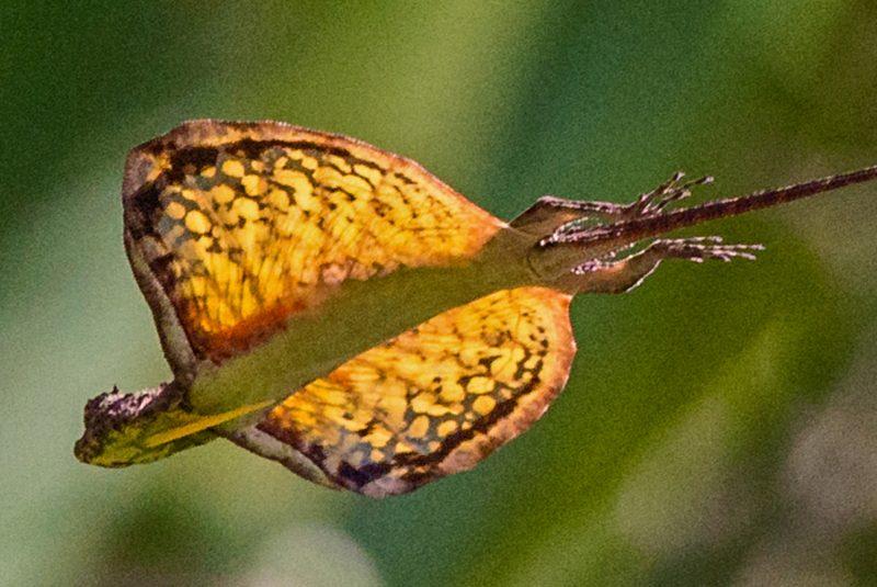 Lagarto volador (Draco volans)