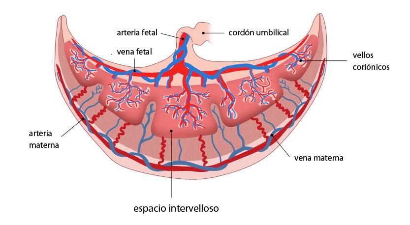 Placenta y espacio intervelloso