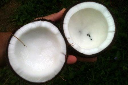 Un par de cocos. la fuente del aceite de coco