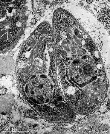 Dos taquizoitos de T. gondii