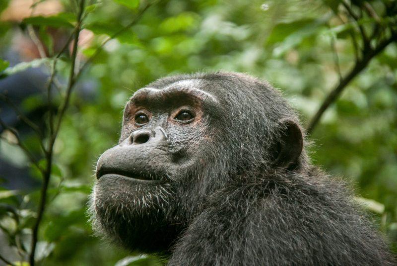 Chimpancé, un hominino