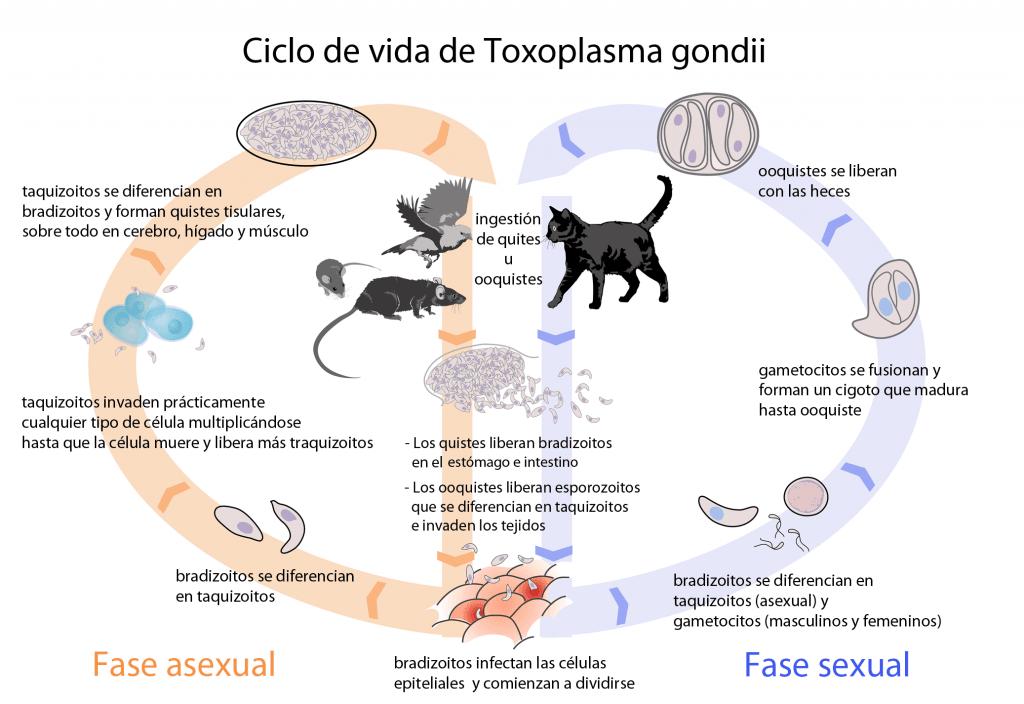 Ciclo de vida de Toxoplasma gondii