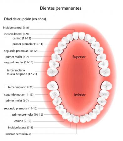 Dentición permanente - edad de erupción