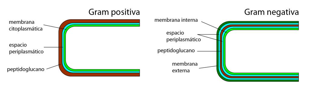 Esquema estructural de la pared celular en gram positivas y en gram negativas